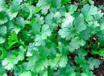 cilantrothumb(2)