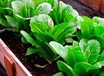 lettucethumb(2)